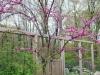 English-azaleas.jpg
